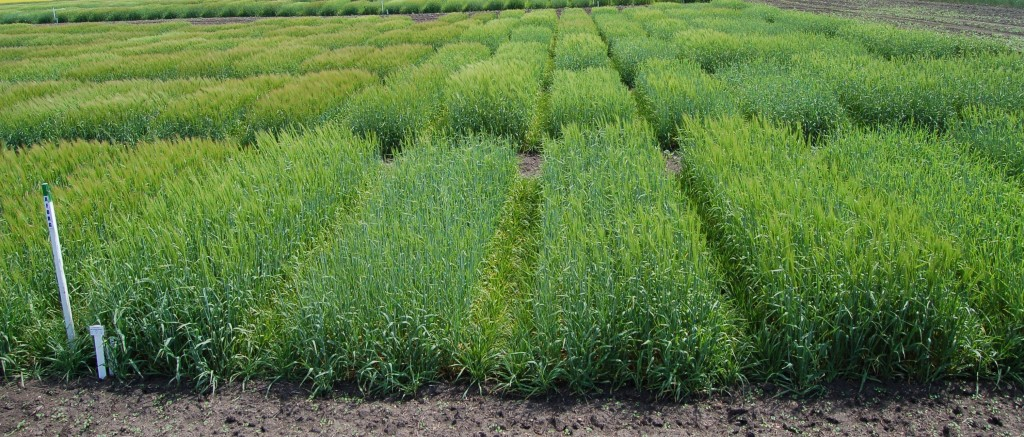 Overview of the 2015 Advanced Forage Barley Test – Grain part, Hamiota, 2015